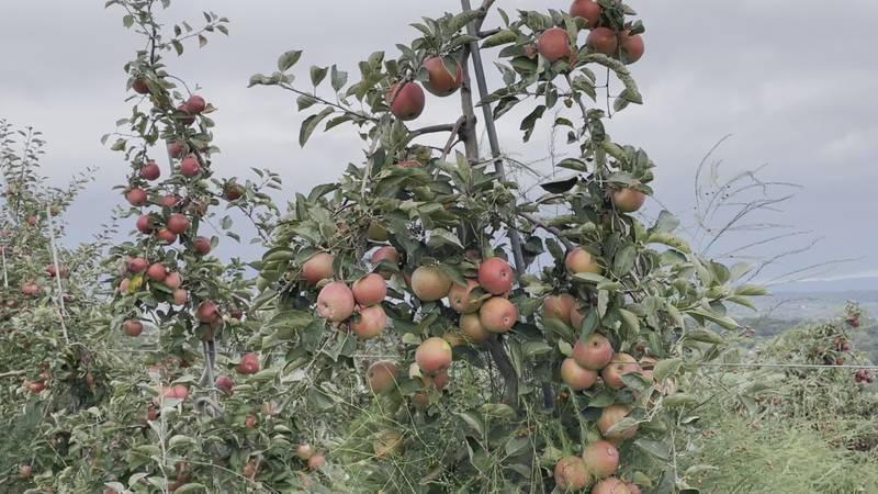 The orchard ended up with great production thanks to favorable weather.