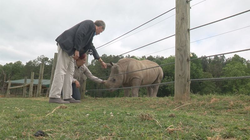A baby rhino that takes part in the animal encounters at the Virginia Safari Park.