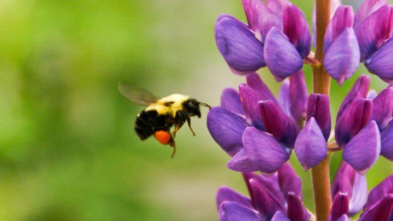 Bee pollinates flowers (Pixabay)