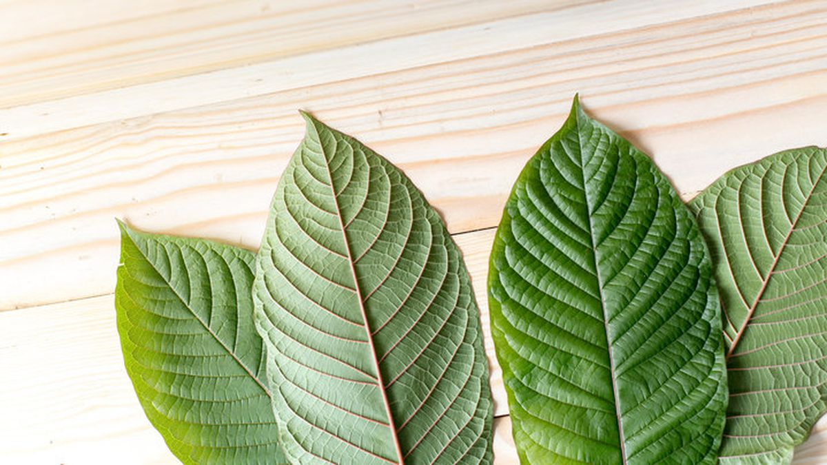 Leaves of Mitragyna speciosa, which are typically dried and crushed to make kratom. | Getty...