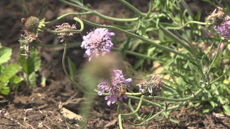 A bee lands on one of the many flowers planted in Harrisonburg's Liberty Park.