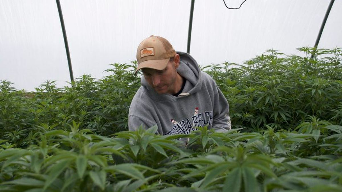 Wayne Grizzard, owner of Southern Virginia Hemp Company and Virginia Homegrown Botanicals, tends to his hemp plants. Photo by Andrew Gionfriddo, Capital News Service.
