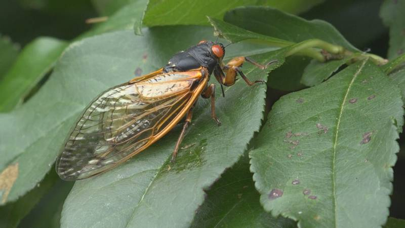 Swarms of Cicada can be found all over the town of Strasburg.