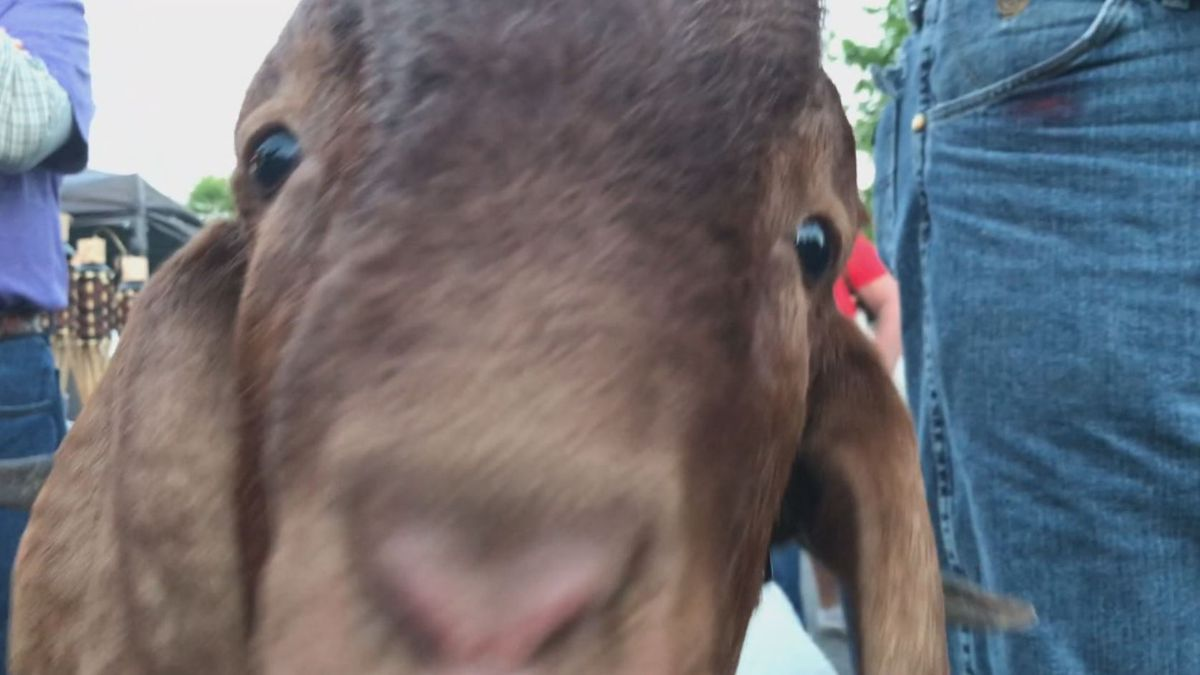 Aubrey kissing a goat at the Relay for life