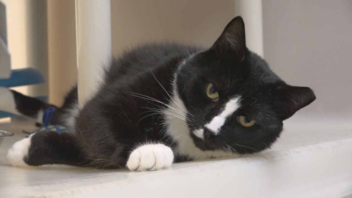 Buster is an adoptable adult cat at the RH-SPCA.
