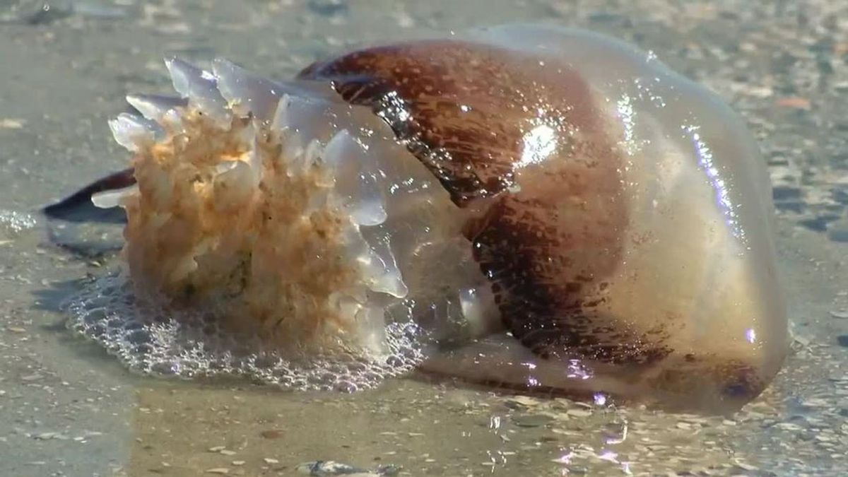 Watch Where You Step Jellyfish Washing Ashore In Myrtle Beach