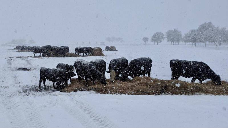 Central Texas cows eat hay to stay warm during last week's historic Texas ice storm.