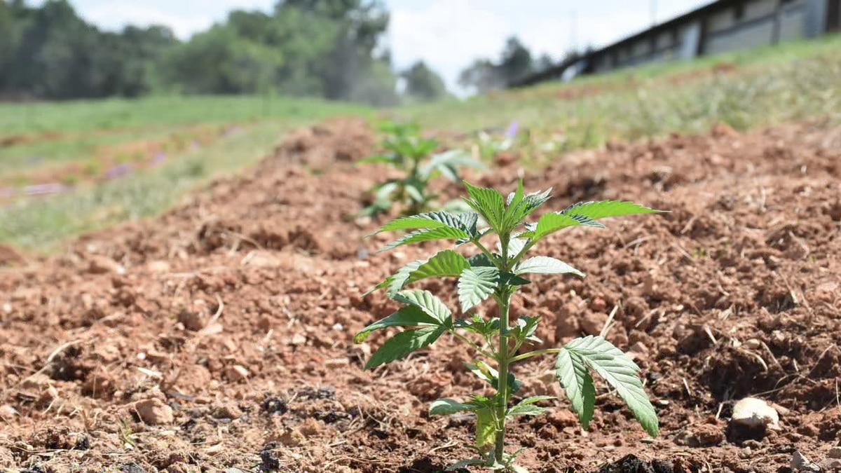 Tanner Johnson said the most common reasons for loss of hemp crops are weather and bug-related, or the crop exceeds the 0.3 percent THC level.