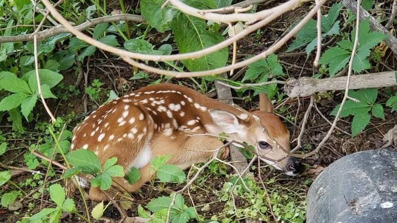 Photo of fawn left by a doe in Roanoke