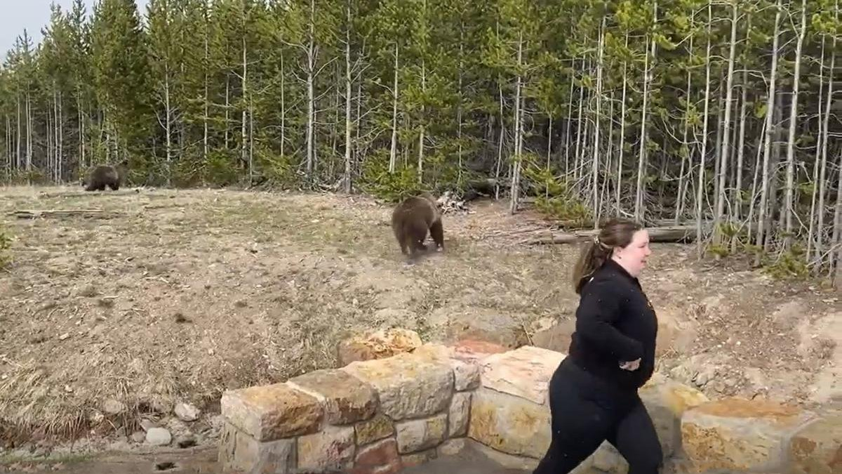 The woman videoed approaching within 15 feet of a Grizzly sow and her two cubs in Yellowstone...