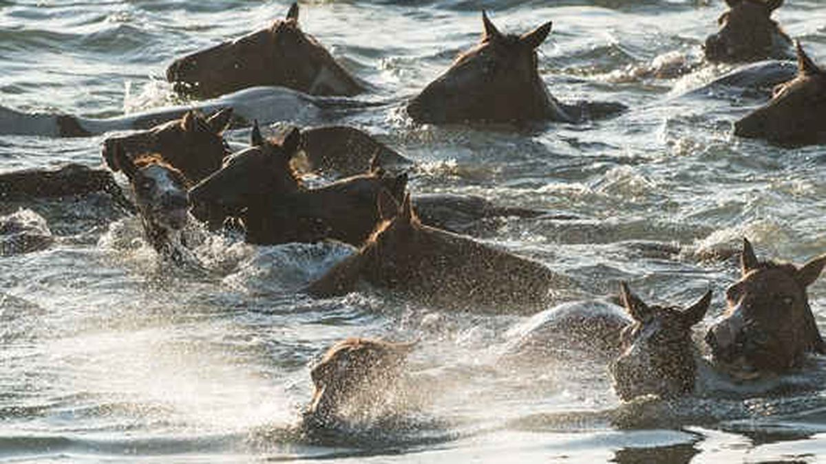 Ponies swim towards Chincoteague during the Chincoteague Pony Swim on Wednesday, July 26, 2017. Photo by Ralph Musthaler