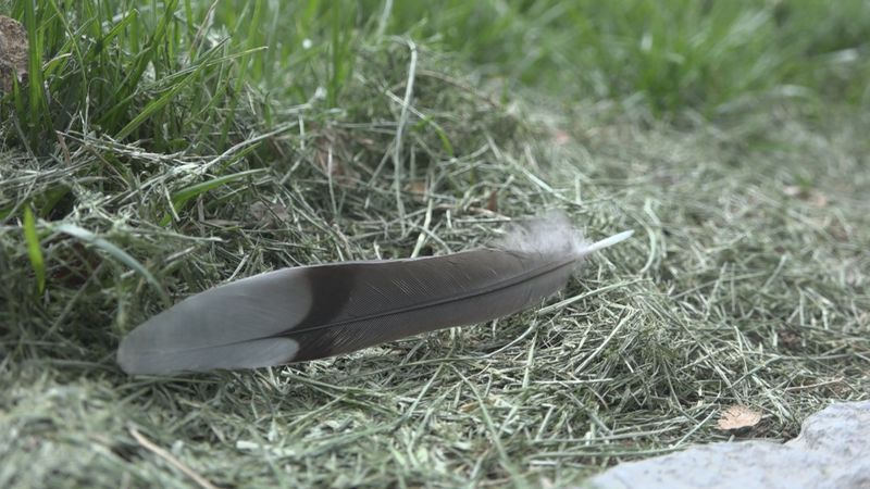 Feathers found in front of the Rockingham County Courthouse