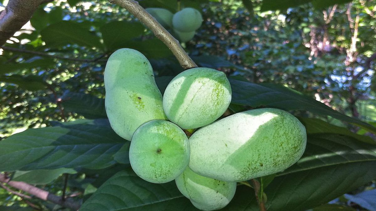 """Pawpaw fruit is often called the """"Poor Man's Banana"""" because its taste is a cross between a banana and a mango with a hint of pineapple. (Source: Virginia State University - Agriculture)"""