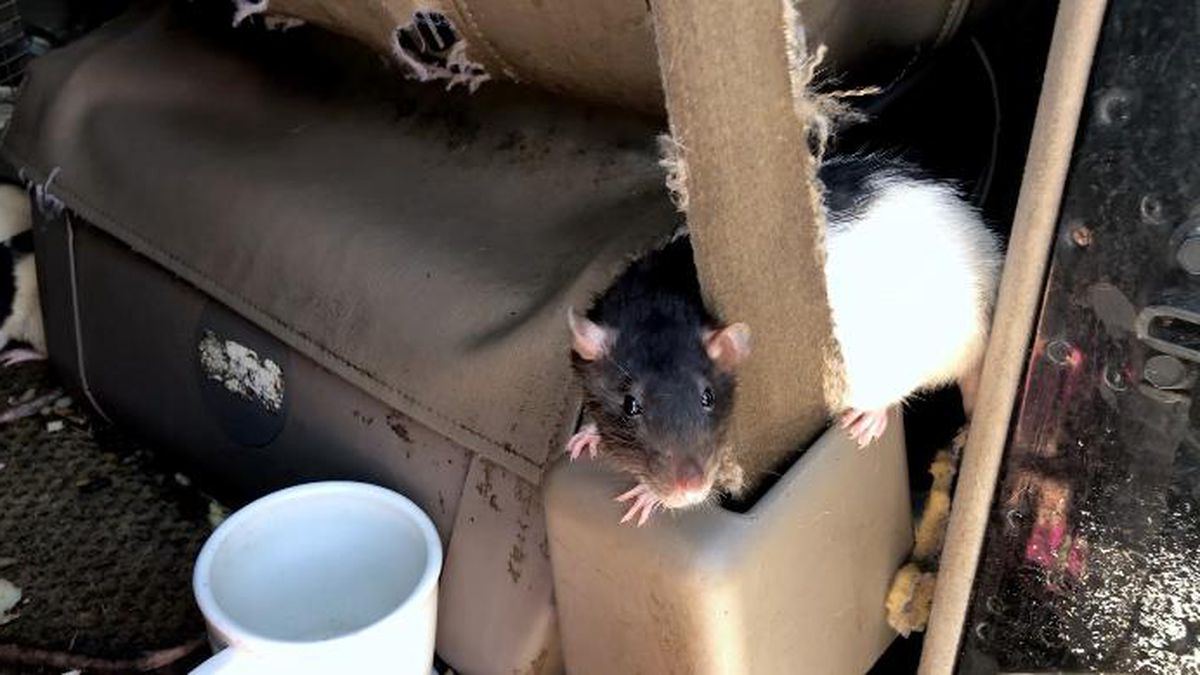 Authorities found rats had clawed into upholstery, burrowed into the seats and gnawed the engine wiring. (Source: San Diego Humane Society)