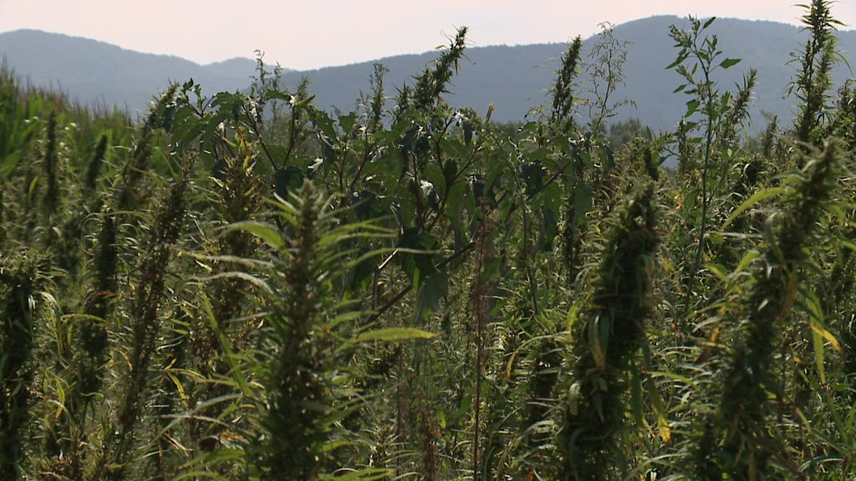 Hemp growing at an undisclosed location in the Shenandoah Valley