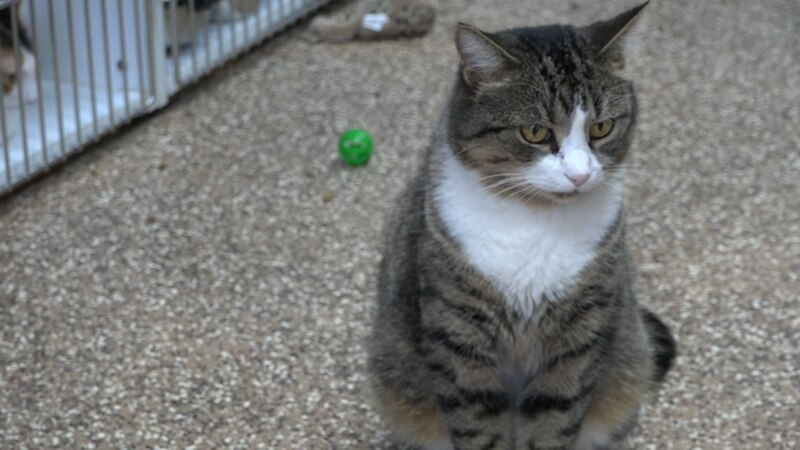 A cat who is ready to be adopted at the Shenandoah Valley Animal Services Center in Lyndhurst....