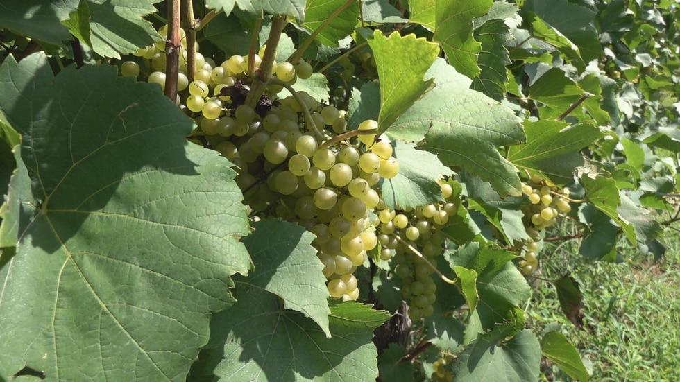 Beliveau waits for the perfect maturation of each variety before harvesting.