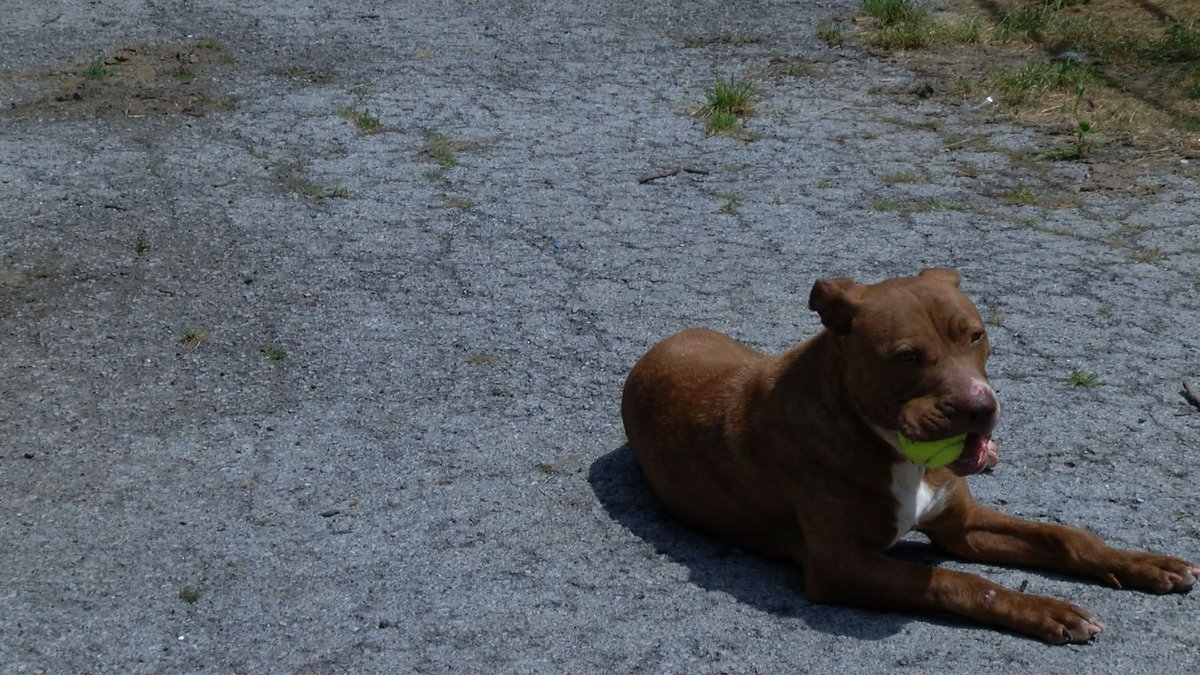 Dog plays outside in the hot sun.