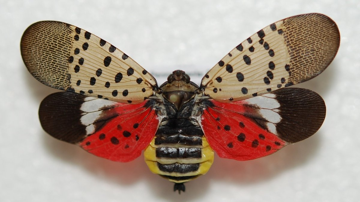 Adult spotted lanternflies are identifiable by their bright body and wing colors. (Photo...