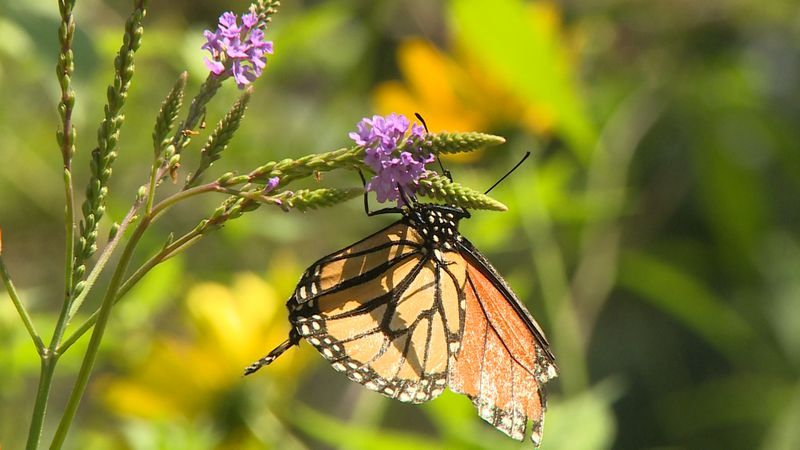 Monarch butterfly during Beaver Creek Reserve annual Butterfly Fest August, 2019.