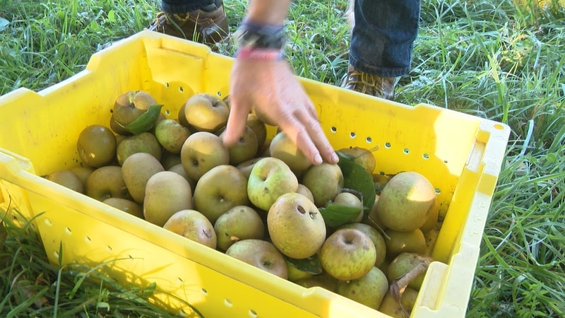 Recently picked apples are gathered in bins to be taken back for juicing.